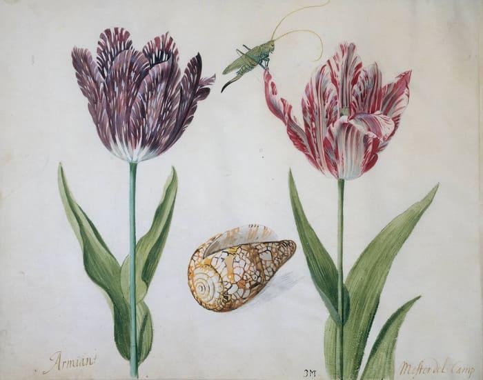 Пестролепестные тюльпаны 1630-х годов. Изображение с сайта wikipedia.org